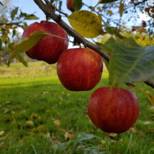 3 red apples on an apple tree